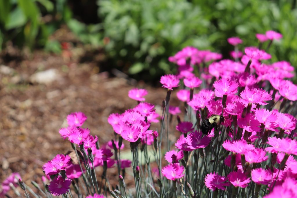 A bee pollenating bright pink carnations.